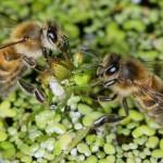 ГЕНЕТИЧНО ЗАМЪРСЯВАНЕ - или - КОЛКО ВРЕМЕ ЩЕ ОЦЕЛЕЕМ, след като изтребим и пчелите?