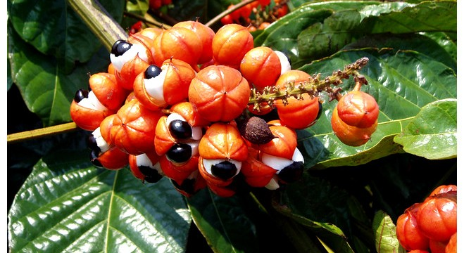 ГУАРАНАТА – естествен природен стимулант   Здраве без лекарства